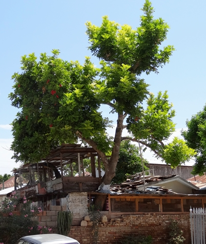 Jamaika - Falmouth-Baum aus Haus