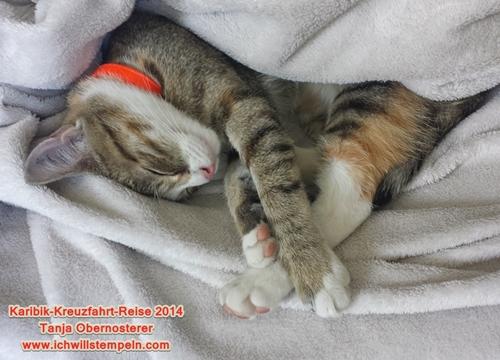Katze Lilo- karibik-Kreuzfahrt-Reise
