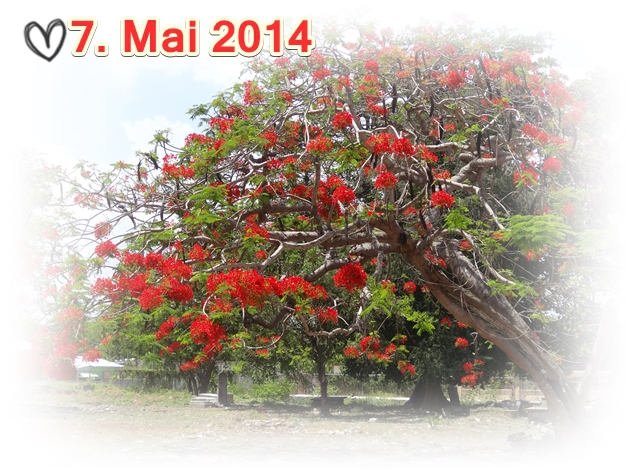 Jamaika-Falmouth-Bluetenbaum